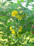 moszenki południowe, galeria roślin, zdjęcia roślin na m