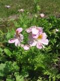 Ogrodnik-amator, opis rośliny, Motylek wisetoński, motylek nadobny,  Schizanthus wisetonensis,  Butterfly Flower, uprawa motylka wisetońskiego, pielęgnacja motylka nadobnego, motylek kwiat, kwiaty jednoroczne, rosliny o barwnych kwiatach, kwiaty na gleby żyzne, rośliny na żyzne, rośliny o ozdobnych kwiatach, kwiaty jak orchidea, kwiaty ogrodowe, kwiaty na rabaty, kwiaty lata