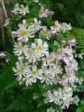 rośliny kwiaty jednoroczne , motylek wisetoński