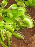 muchołówka, Dionaea muscipula , roślina owadożerna, drapieżna, zdjęcia rośliny, rośliny pokojowe