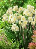 Ogrodnik-amator, opis rośliny, Narcyz, Narcissus , Daffodil, uprawa narcyzy, opis rośliny,  narcyz kwiat, kwiaty  cebulowe