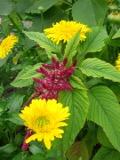 rośliny lecznicze , nagietek, nagietki