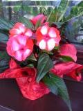 kwiaty letnie niecierpek nowogwinejski