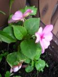 kwiaty balkonowe, niecierpek Waleriana, balkony i tarasy