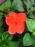 kwiaty trudniejsze w uprawie, kwiaty jednoroczne, niecierpek waleriana, kwiaty do ogródka