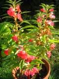 Ogrody, zdjęcia niecierpek balsamina, niecierpki w ogrodzie