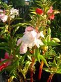 ogród ozdobny , rośliny kwiaty jednoroczne, niecierpek balsamina, ogród wiejski, kwiaty do wiejskiego ogrodu,  rośliny  na balkony i tarasy, kwiaty do bukietów