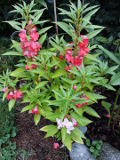 ogród ozdobny , rośliny kwiaty jednoroczne, niecierpek balsamina, niecierpki,  ogród ozdobny, rośliny  na lato