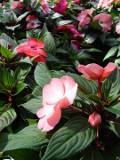 Ogrodnik-amator, opis rośliny, Niecierpek nowogwinejski, Impatiens hawkeri, New guinea impatiens, Busy Lizzie, uprawa niecierpków nowogwinejskich,kwiaty na balkony i tarasy, kwiaty do pojemników, kwiaty jednoroczne