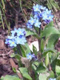 Ogrodnik-amator, opis rośliny, Niezapominajka, Myosotis, Forget-me-not, kwiat, uprawa niezapominajki, opis rośliny, uprawa niezapominajek, Kwiaty dwuletnie, byliny, kwiaty ogrodowe, kwiaty cięte, kwiaty wiosenne