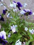ogród ozdobny , rośliny kwiaty dwuletnie, niezapominajki i bratki,  ogród wiejski, rośliny  na wiosnę