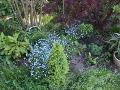 niezapominajki na grzadce, niebieskie kwiaty,, aranżacje ogrodowa, galeria ogrodowa