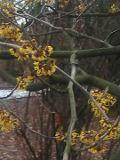 krzewy Liściaste ,oczary