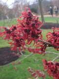 Ogrodnik-amator, opis rośliny, Oczar omszony, Hamamelis mollis, Chinese witch hazel, uprawa oczarów,  krzewy kwitnące zimą