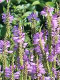 Ogrodnik-amator, opis rośliny, Odętka wirginijska, Physostegia virginiana, Obedient plant, obedience, false dragonhead, uprawa odętki wirginijskiej, opis rośliny, kwiaty wieloletnie, kwiaty w różowym, jasnoliliowym, fioletowoniebieskim i białym kolorze, kwiaty letnie, kwiaty łatwe w uprawie, kwiaty do ogrodów, kwiaty wytrzymałe