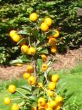 krzewy ogrodowe, krzewy trudniejsze w uprawie, krzewy liściaste, ognik szkarłatny