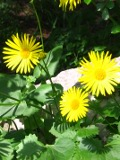 omieg kaukaski zdjęcia roślin