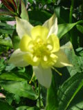 Ogrodnik-amator, opis rośliny, Orlik, orliki, Aquilegia, byliny, kwiaty wieloletnie, kwiaty w ogrodzie, rośliny na kwiaty cięte, kwiaty na miejsca wilgotne, żółte kwiaty, kwiaty ogrodowe, kwiaty nad wodę, kwiaty lata, kwiaty letnie, kwiaty łatwe w uprawie, rośliny kwitnące latem, rośliny do letniego ogrodu, orlik kwiat