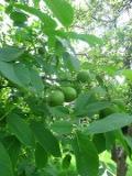 rośliny drzewa,  orzechy , orzech włoski