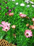 Osteospermum, stokrotka afrykańska, dimorfoteka zdjęcia