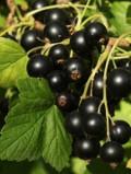 Ogrodnik-amator, opis rośliny, Porzeczka czarna. Ribes nigrum. Blackcurrant , uprawa porzeczki czarnej, pielęgnacja, czarne porzeczki,  krzewy owocowe, krzewy o czarnych owocach, ogród owocowy, drzewa i krzewy owocowe, rośliny użytkowe, rośliny owocujące, rośliny jagodowe