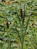 Pałka szerokolistna, pałka wodna, Typha latifolia, galeria roślin na p, zdjęcia roślin ogrodowych, zdjęcia rośliny