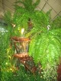 paprotka, nefrolepis, rośliny pokojowe, rośliny doniczkowe. paprocie