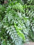 paprotnik sierpowaty, Cyrtomium falcatum , paproć, zdjęcia rośliny, rośliny pokojowe