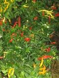 rośliny krzewiaste ozdobne, papryka roczna ozdobna