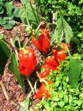 papryka roczna, galeria roślin na p, zdjęcia roślin ogrodowych, zdjęcia rośliny