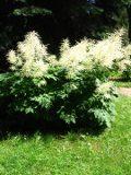 parzydło leśne, duża bylina, ogród ozdobny , rośliny bylinowe, rośliny na rabaty, rośliny do cienia, kwiaty  kwiaty, kwiaty letnie