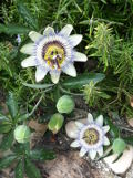 ogród pnącza ogrodowe , kwiaty, męczennica modra