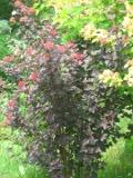 krzewy wiosenne, pęcherznica kalinolistna