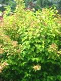 Ogrodnik-amator, opis rośliny, Pęcherznica kalinolistna , Physocarpus opulifolius, Ninebark, uprawa pęcherznicy kalinolistnej, krzewy ozdobne, Krzewy do ogrodu, krzewy o dekoracyjnych liściach i kwiatach, rośliny o ozdobnych owocach, rośliny na żywopłoty, krzewy wytrzymałe