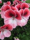 ogród ozdobny , rośliny kwitnace , rośliny balkonowe, pelargonia wielkokwiatowa, pelargonia angielska, rośliny  na balkony i tarasy