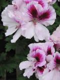 Ogrodnik-amator, opis rośliny, Pelargonia wielkokwiatowa, pelargonia angielska, Pelargonium grandiflorum  Geranium, Angel Pelargonium, uprawa pelargonii angielskiej, rośliny do domu, rośliny doniczkowe, rośliny pokojowe, na balkony, rosliny na tarasy, rośliny zielne, byliny, rośliny pokojowe, rośliny o efektownych liściach, rosliny domowe, rośliny pachnące, rośliny efektowna przez cały rok,  ozdobne liście