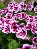 rośliny pokojowe pelargonie, pelargonia wielkokwiatowa, pelargonia angielska, dekoracje,  galeria roslin pokojowych, ogrodnik