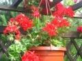 Ogrody, rośliny  , pelargonia bluszczolistna