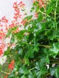 Ogrodnik-amator, opis rośliny, Pelargonia, bluszczolistna, Pelargonium peltatum, Ivy-leaved geranium, uprawa pelargonii bluszczolistnej, kwiaty na balkony i tarasy, kwiaty do pojemników