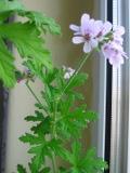 pelargonia pachnąca, anginka, geranium