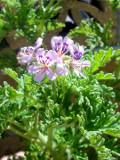 rośliny pokojowe pelargonie, pelargonia pachnąca, geranium,  dekoracje , anginka,  galeria roslin pokojowych, ogrodnik