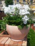 rośliny  ozdobne, pelargonia pasiasta
