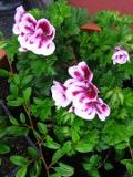 kwiaty, pelargonia wielkokwiatowa, pelargonia angielska