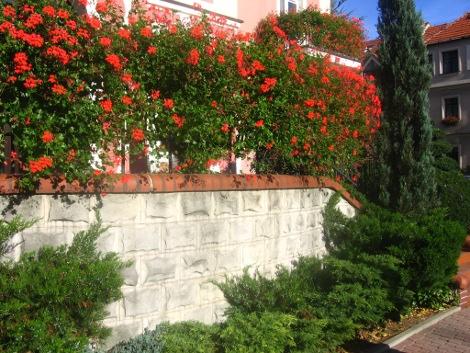pelargonia bluszczolistna,pelargonie zwisające i glalki, zdjęcia ogrodowe, zdjęcia ogrodów
