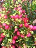 rośliny pokojowe , pernecja chilijska , różowe owoce dekoracyjne