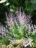 rośliny pachnące , perowskia łobodolistna