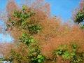 Ogrody, rośliny  , perukowiec podolski