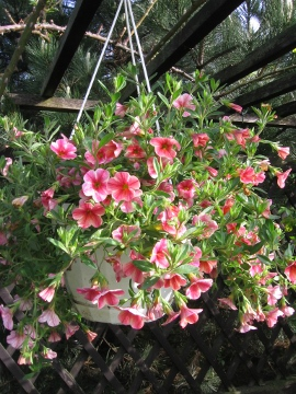 Calibrachoa Million Bells łac. calibrachoa hybrid ang. Million Bells, uprawa Million Bells, pielęgnacja Calibrachoa, opis rośliny, kwiat, kwiaty w wielu kolorach, kwiaty na balkony i tarasy, opis rośliny, kwiat