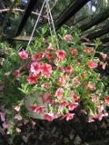 petunia million bells, zdjęcia roślin