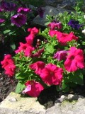 Ogrodnik-amator, opis rośliny, Petunia, uprawa petunii, pielęgnacja petunii ogrodowej, opis rośliny, kwiat, Kwiaty jednoroczne uprawiane z rozsady, kwiaty w wielu kolorach, kwiaty letnie, kwiaty łatwe w uprawie, rośliny kwitnące latem
